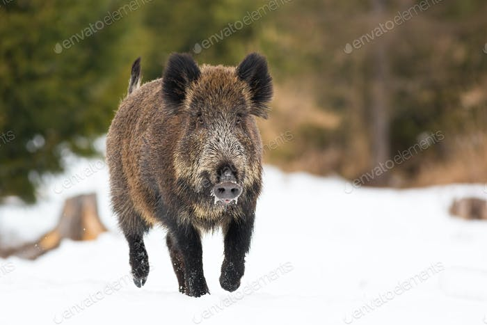 Wild boar sprinting on pasture in wintertime nature