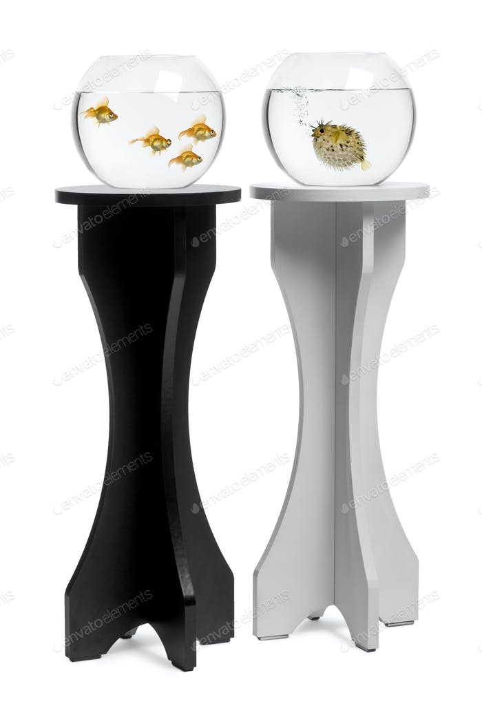Goldfish looking at pufferfish aquarium on stand against white background