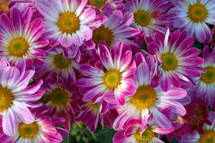 The pink chrysanthemum Flower  in bloom