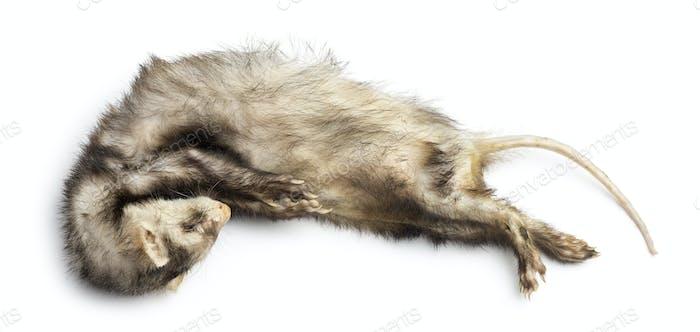 Dead Ferret, Mustela putorius furo, isolated on white