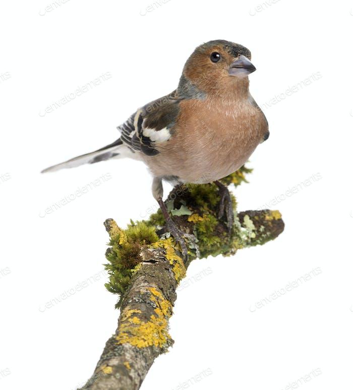 Male Common Chaffinch - Fringilla coelebs on branch