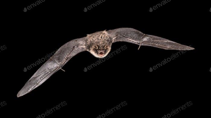 Isolated Flying bat male on black background