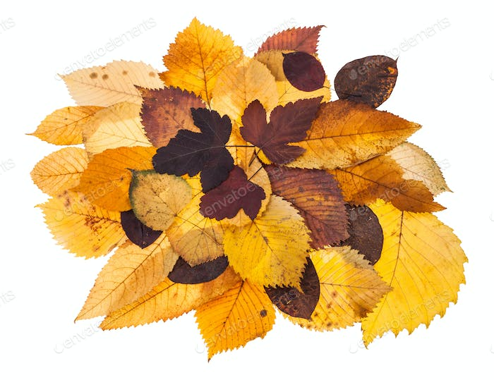 pile of various autumn fallen leaves isolated