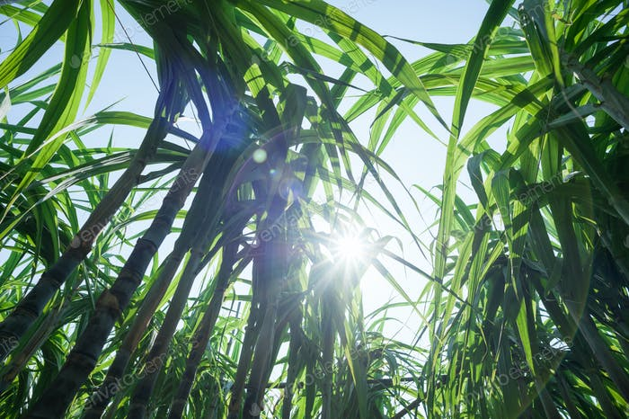 Sugarcane plants in the sunshine