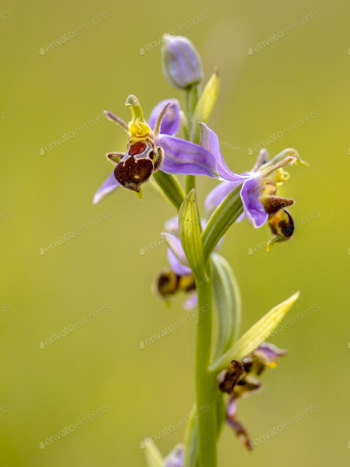 Pink flowers of Bee orchid