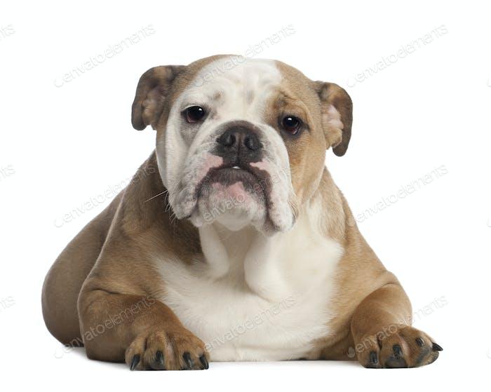 Portrait von French Bulldog, 7 Monate alt, vor weißem Hintergrund