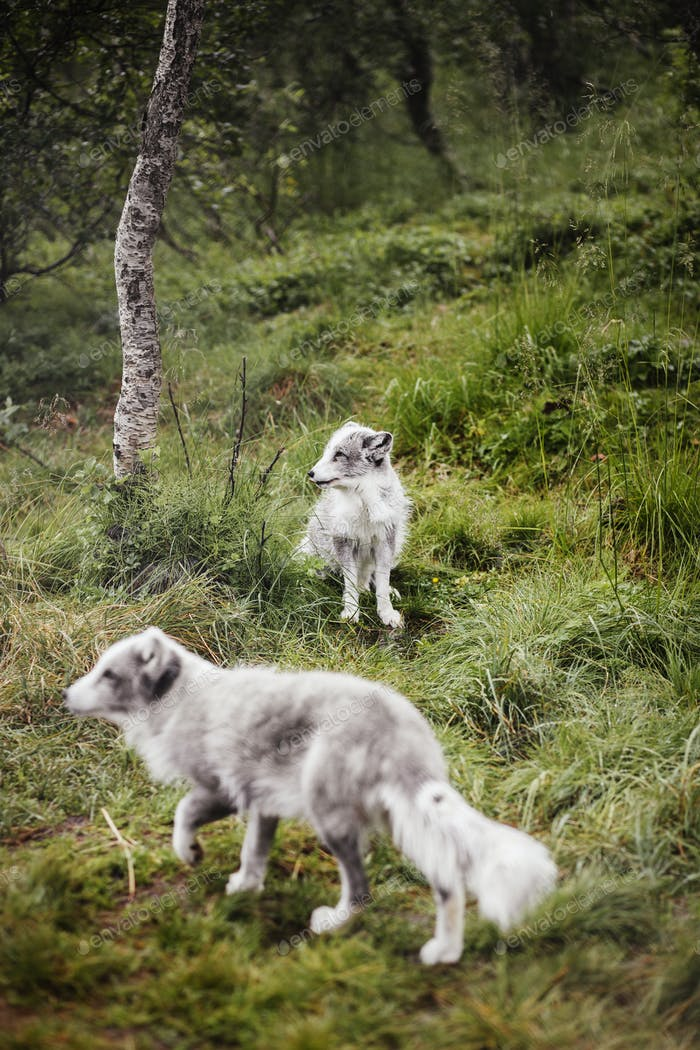 Arctic foxes in forest