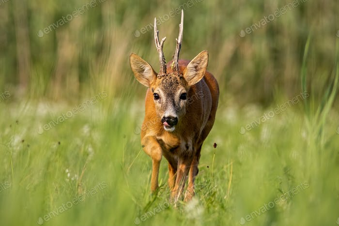 Roe deer buck running forward in summer