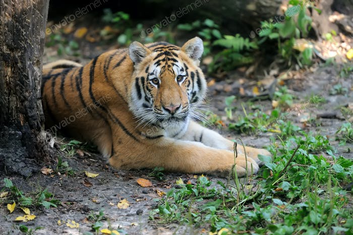 Siberian tiger in summer day