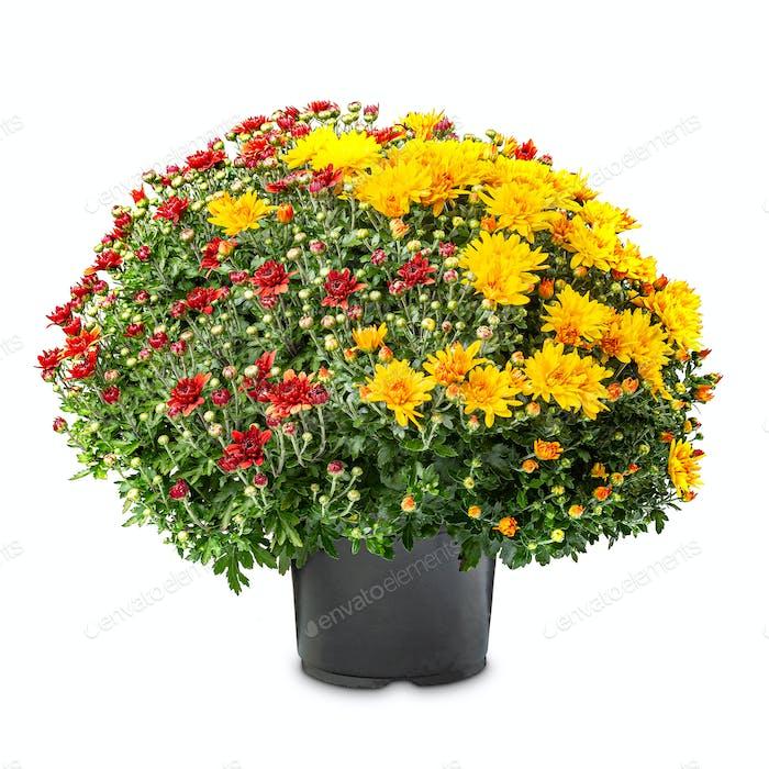 Blühende rote und gelbe Chrysanthemen