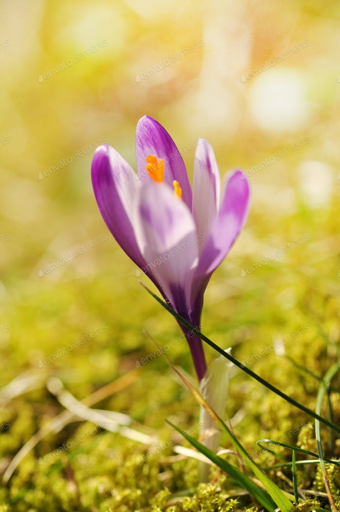 Purple crocus flower blooming in the spring. Shallow depth of filed