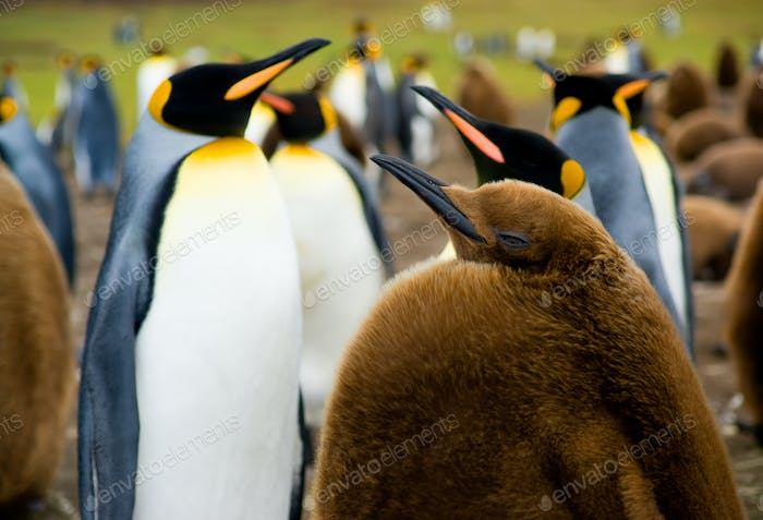Baby King Penguin