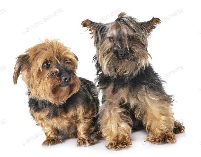 Thumbnail for yorkshire terriers in studio