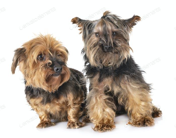 yorkshire terriers in studio