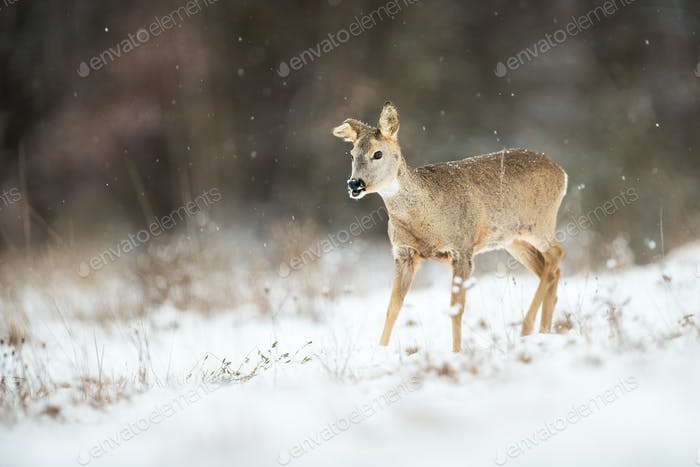 Female roe deer with broken ear on a meadow in snowfall in wintertime