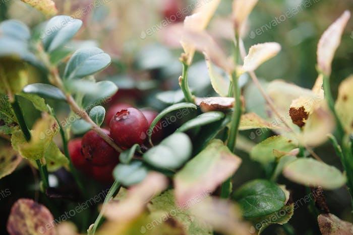 schöne erstaunliche rote natürliche Beere in sonnigen Bergen, in grünem Gras