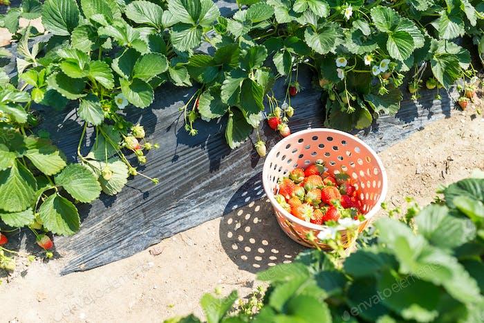 Picking Strawberry field