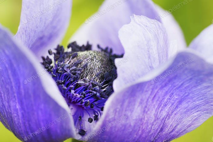 A flower with purple petals and stamens.