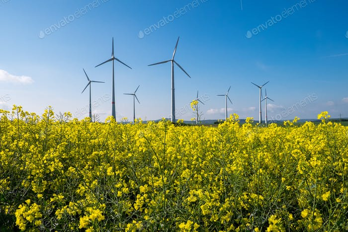 Rapeseed with wind engines