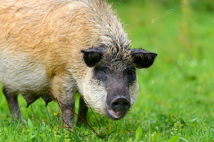 Wild boar on the forest