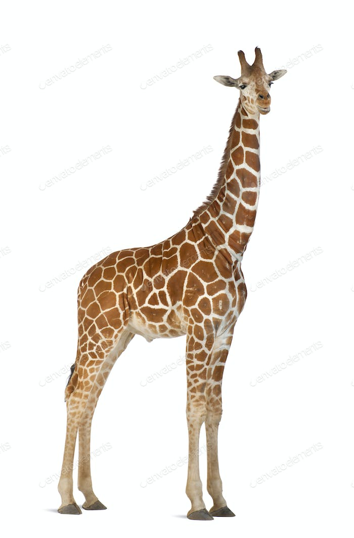 Somali Giraffe, commonly known as Reticulated Giraffe, camelopardalis, 2 and a half years