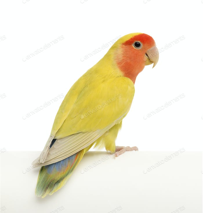 Rosy-faced Lovebird, Agapornis roseicollis, also known as the Peach-faced