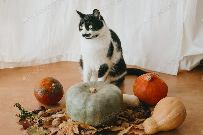 Cute cat sitting at pumpkin and fall leaves on rustic wood in sunny room