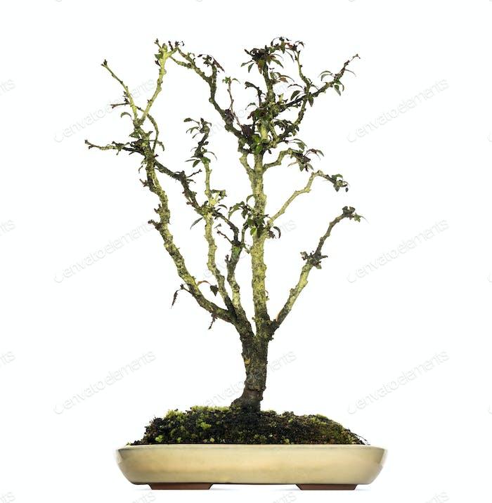 Japanese Cherry bonsai tree, Prunus serrulata, isolated on white