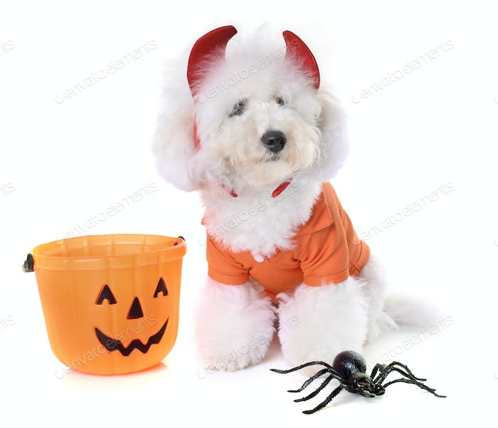 bichon frise and halloween