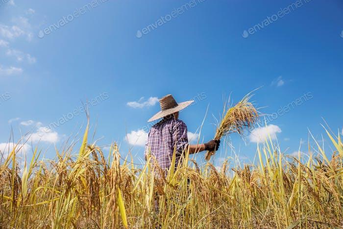 Farmer of harvest season stand back in field at sunlight