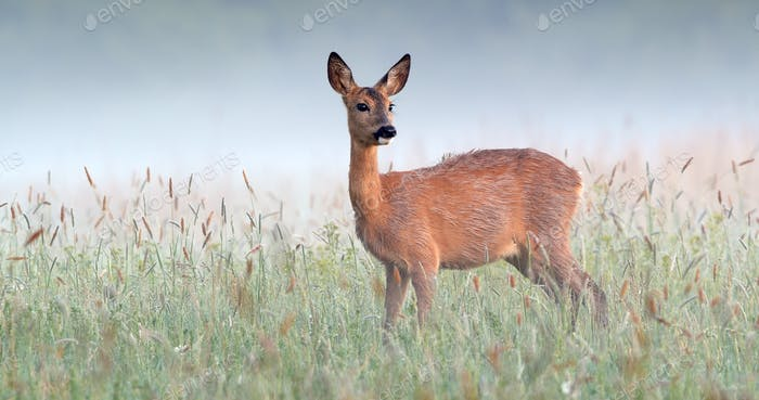 Alert roe deer doe standing on wet meadow early in the morning with mist