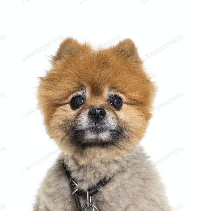 Close-up of a Pomeranian dog, isolated on white