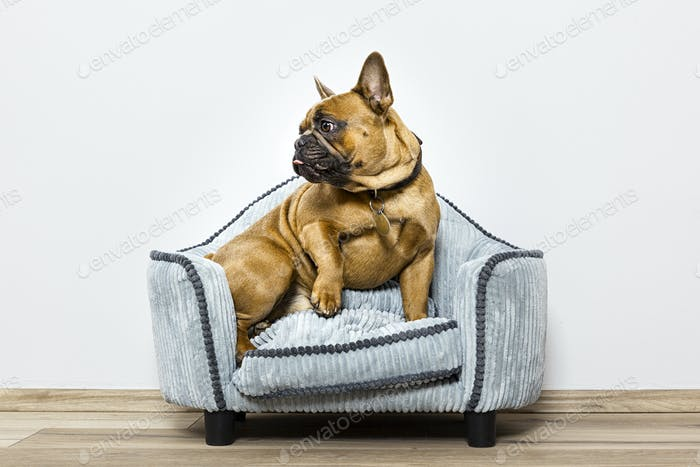 bulldog on a small sofa