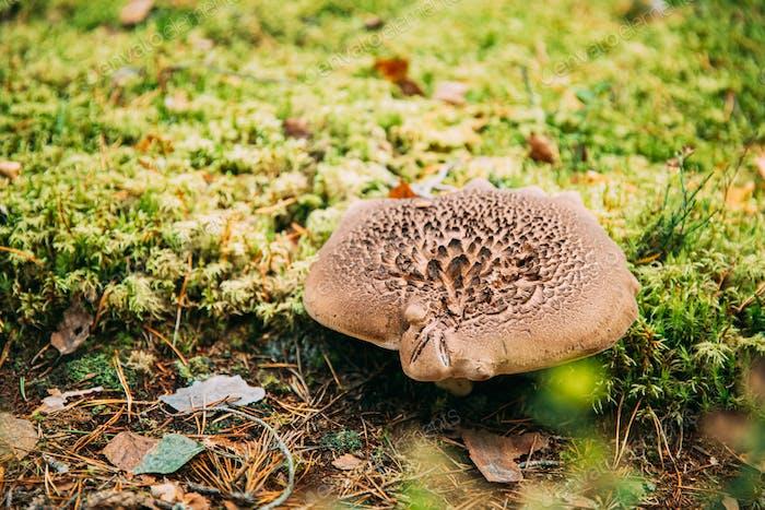 Sarcodon squamosus In Autumn Forest In Belarus. Mushroom In Autumn Forest In Belarus