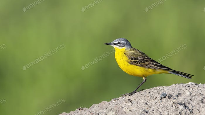 Yellow Wagtail (Motacilla flava) sitting on a pile of sand.