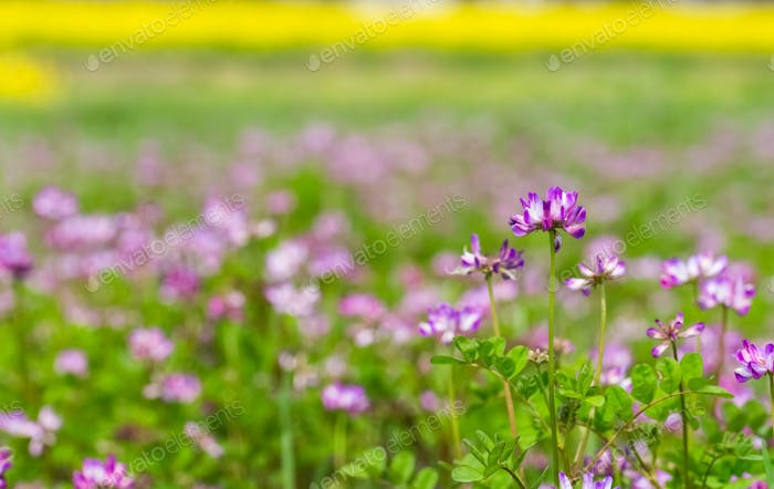 milk vetch blooming in farmland, beautiful spring background