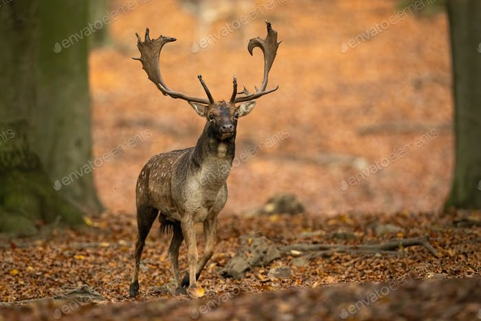 Fallow deer stag advancing closer between trees in autumn forest in nature