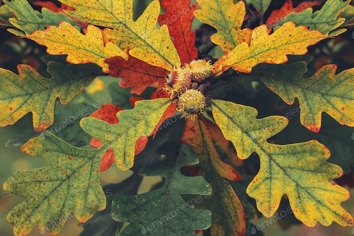 Oak leaves with acorns. Background image of leaves.