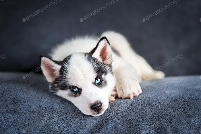 Ein kleiner weißer Hund Welpe Rasse sibirischen Husky
