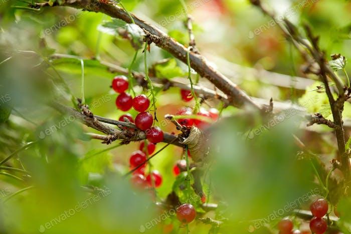 red currant bush at summer garden branch