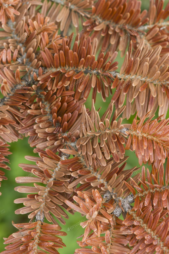 Red Norway spruce tree detail