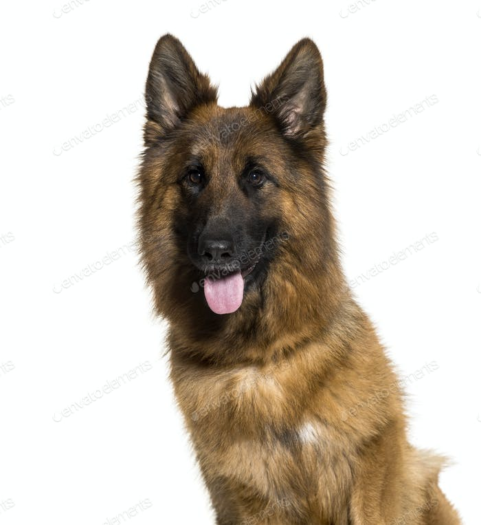 German Shepherd, 3 years old, in front of white background