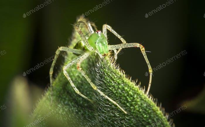 Green Lynx Spider in Belize