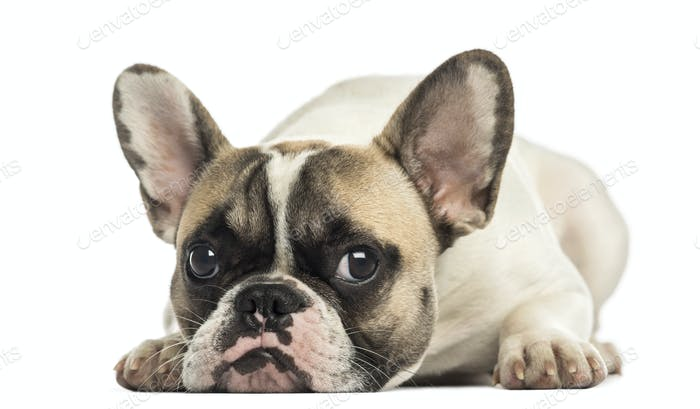 French Bulldog facing, lying, isolated on white