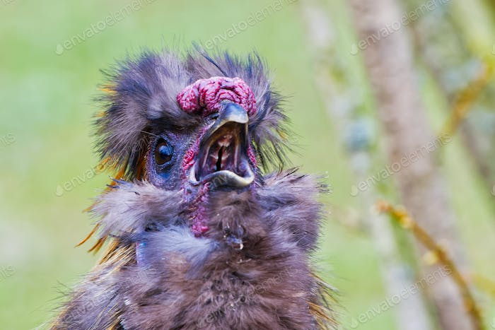 Chinese silky bantam chicken with blurred background