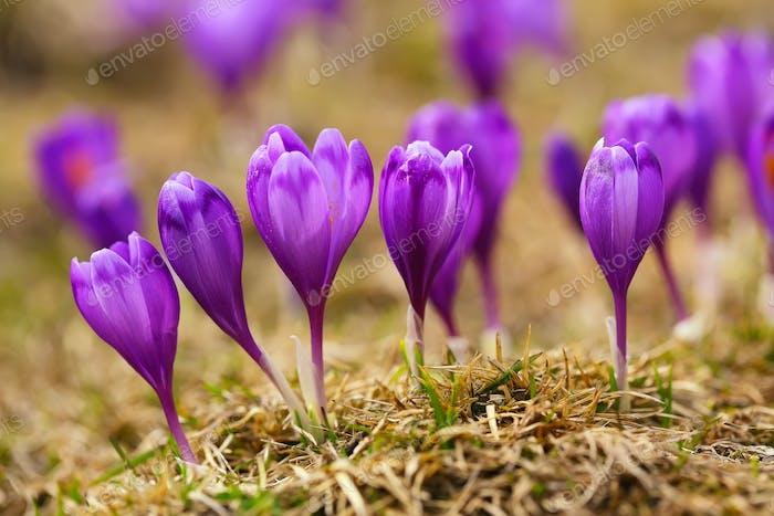 View of blooming spring flowers crocus growing in wildlife