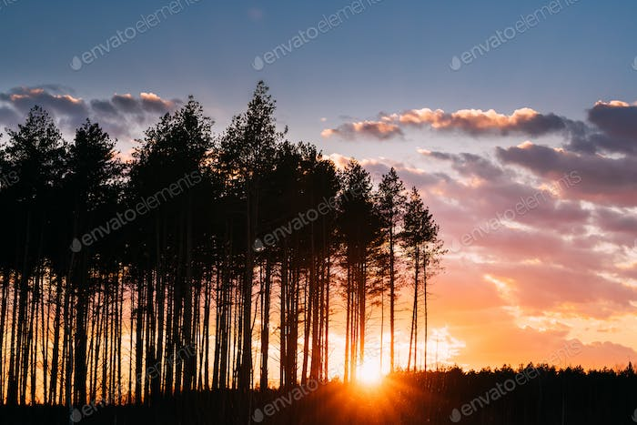 Sunset Sunrise In Pine Forest. Sun Sunshine In Sunny Spring Coni
