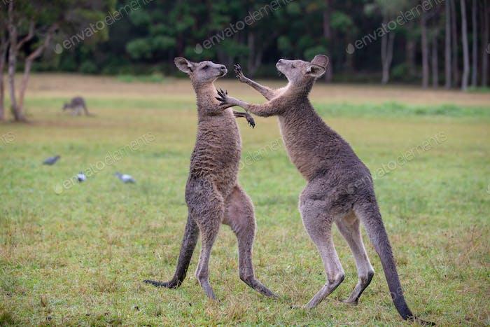 Eastern Grey Cangaroos Fighting