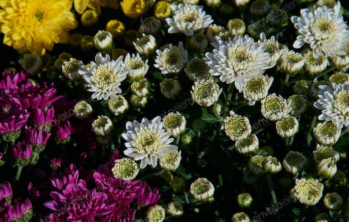 Hintergrund der blühenden Blumen