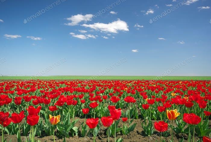 Wiese der Tulpen.